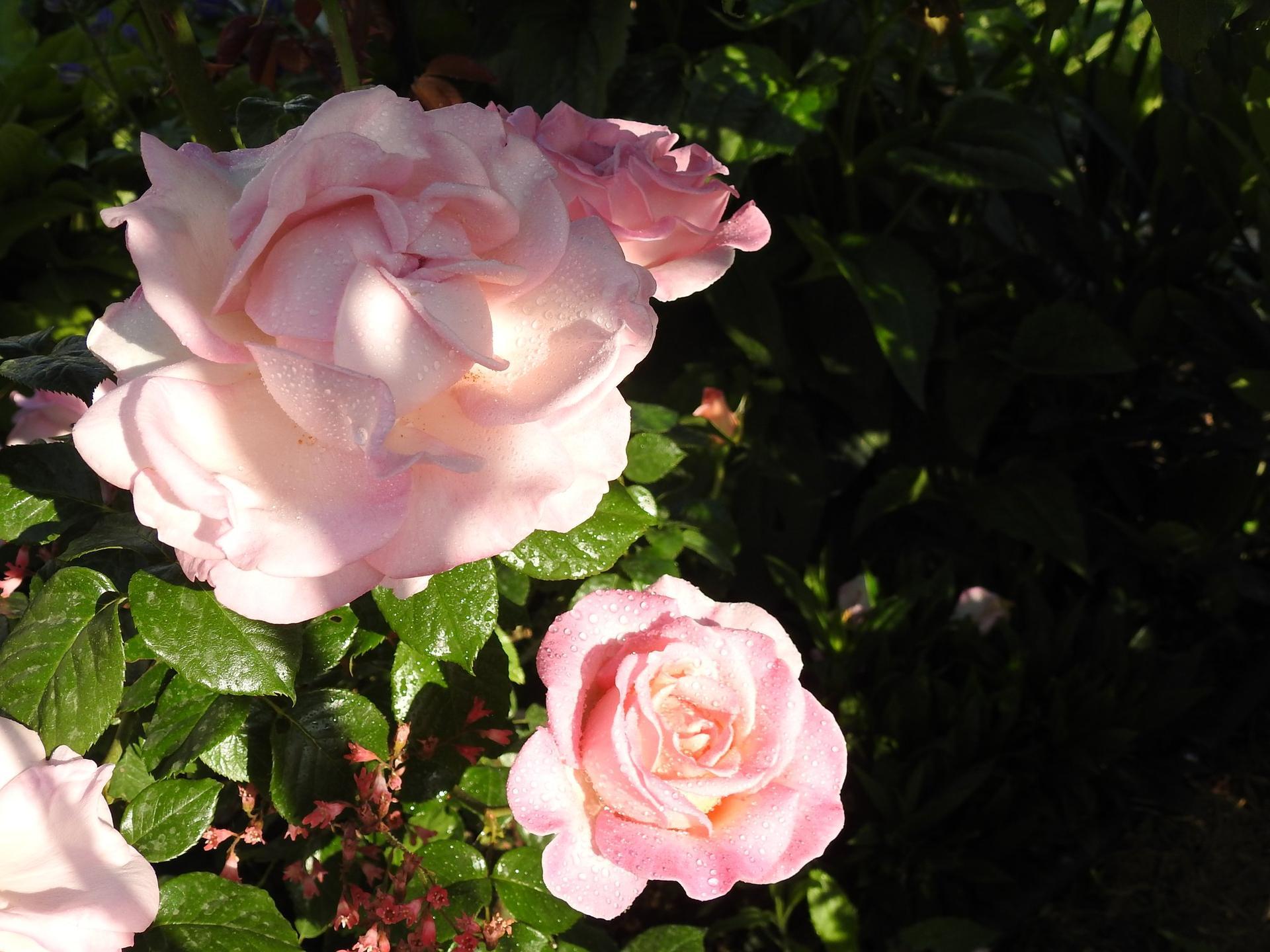 Júnové ruže, v tomto období sú najkrajšie. - Obrázok č. 8