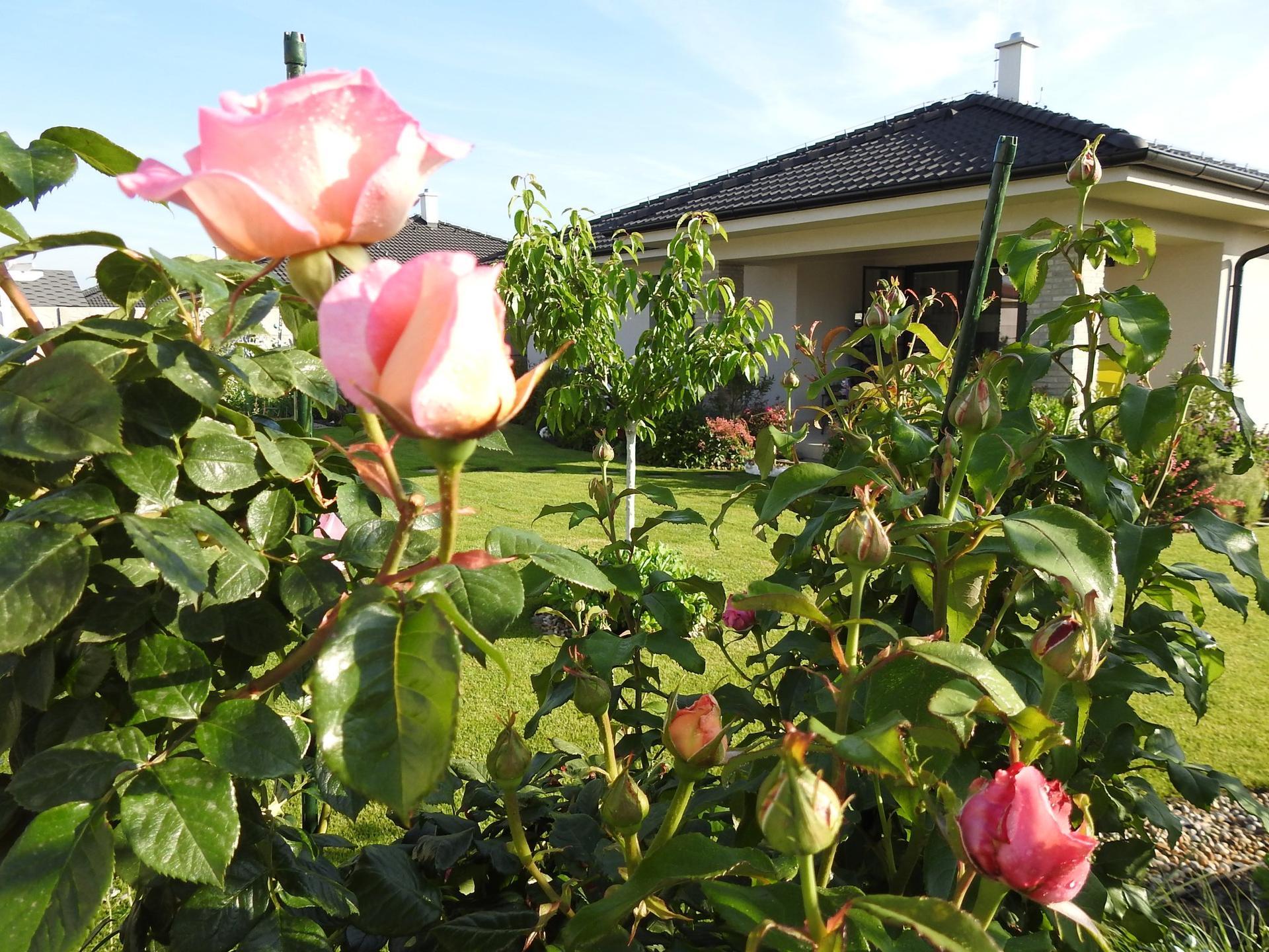 Júnové ruže, v tomto období sú najkrajšie. - Obrázok č. 12
