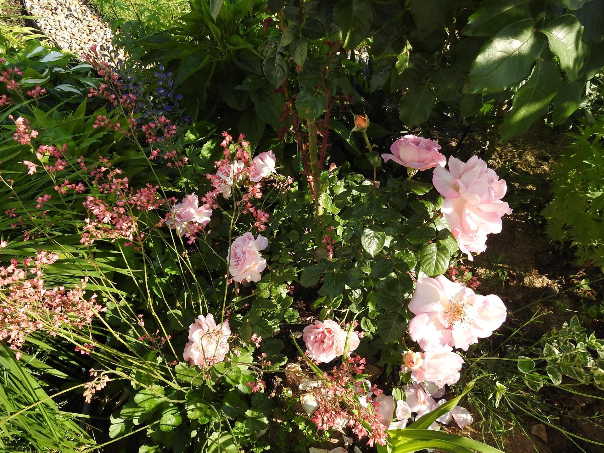 Júnové ruže, v tomto období sú najkrajšie. - Obrázok č. 13
