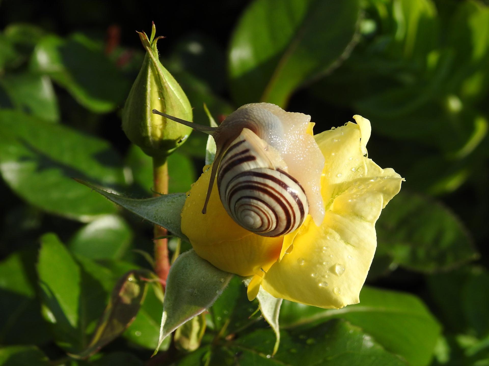 Júnové ruže, v tomto období sú najkrajšie. - Obrázok č. 16
