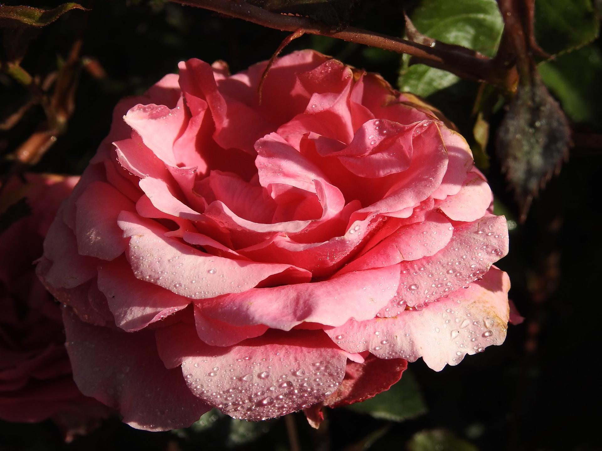 Júnové ruže, v tomto období sú najkrajšie. - Obrázok č. 18