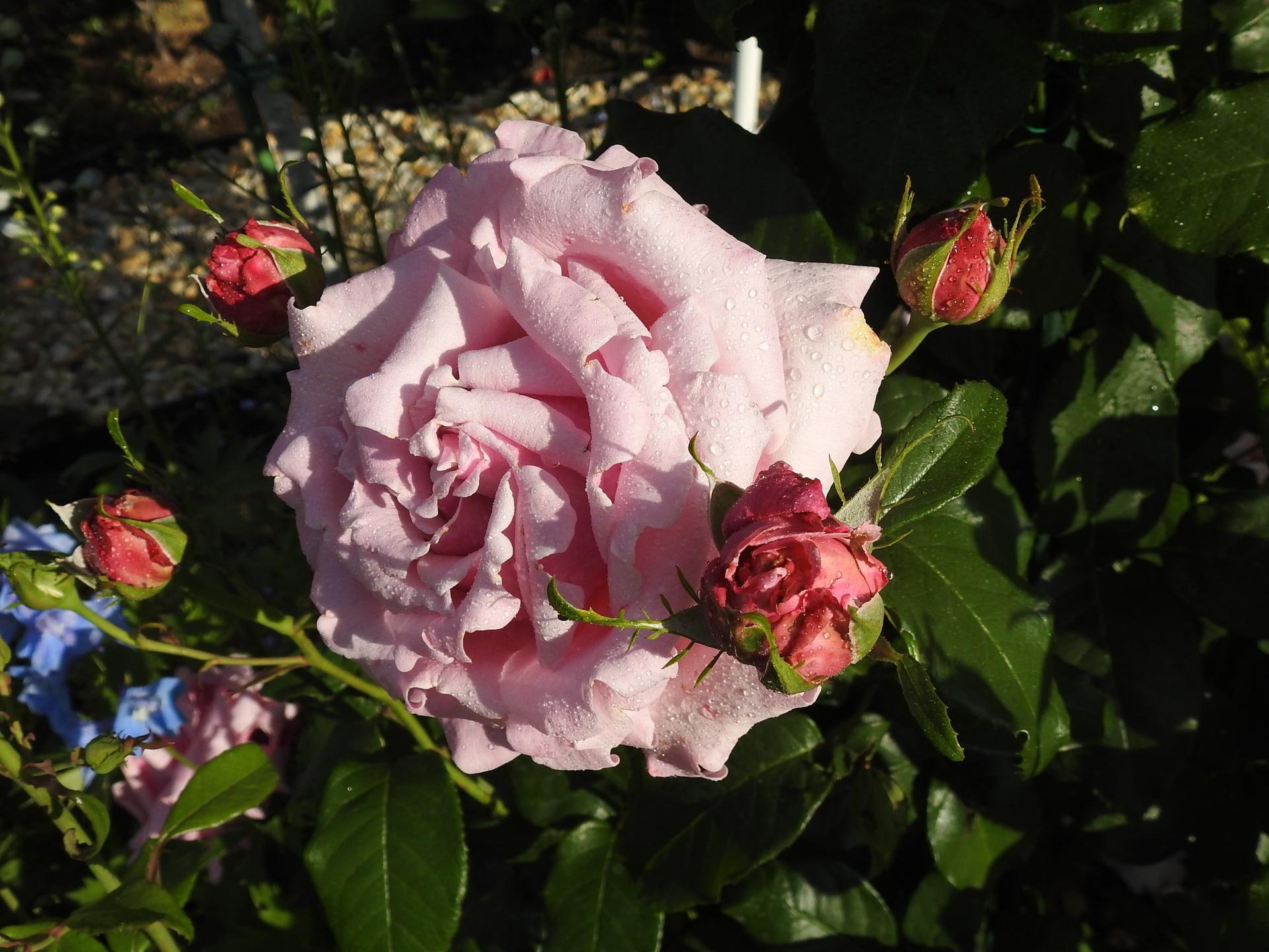 Júnové ruže, v tomto období sú najkrajšie. - Obrázok č. 19