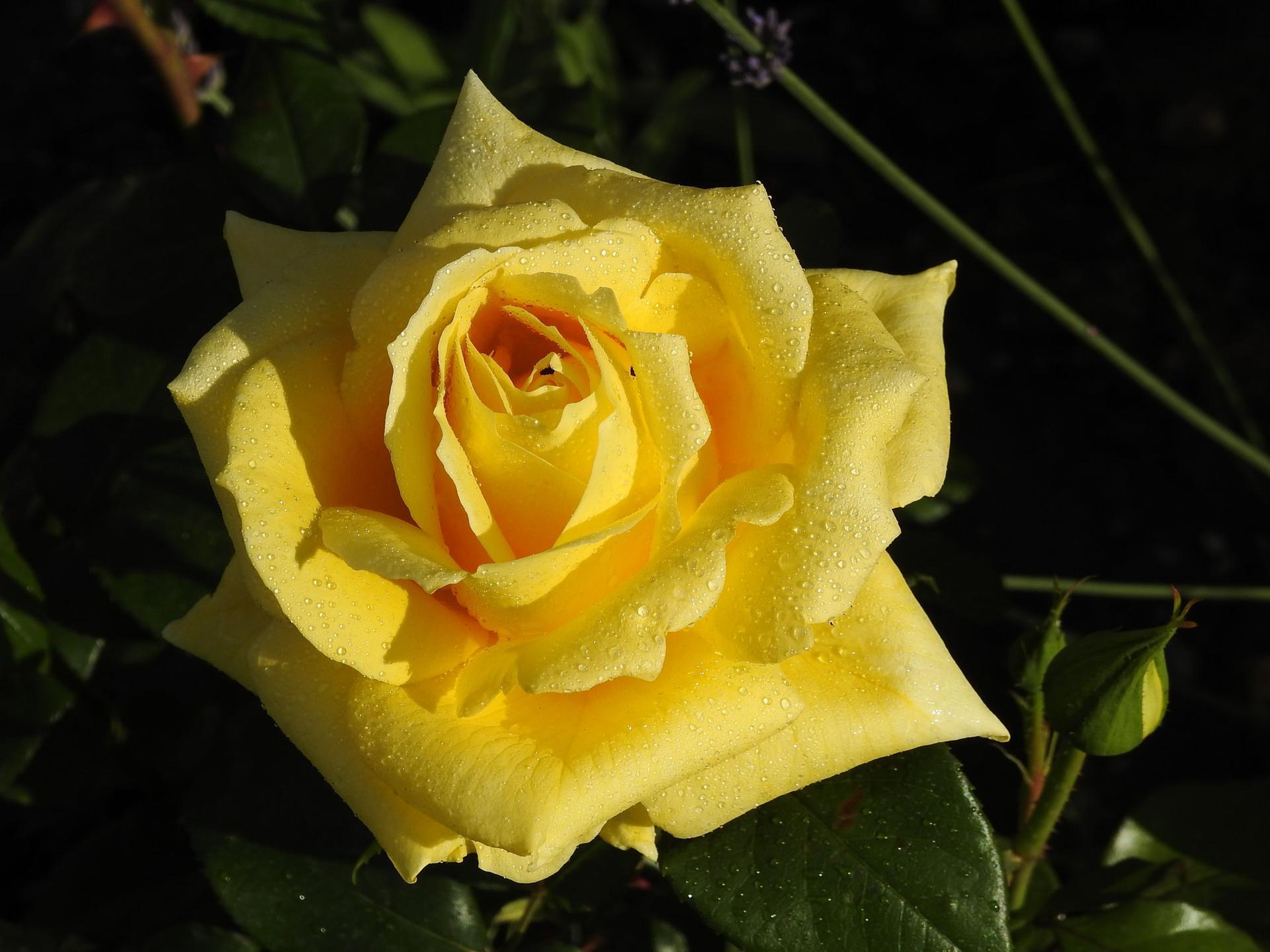 Júnové ruže, v tomto období sú najkrajšie. - Obrázok č. 20