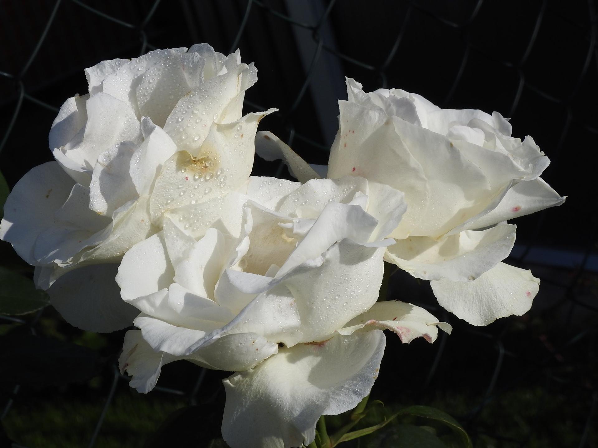 Júnové ruže, v tomto období sú najkrajšie. - Obrázok č. 21