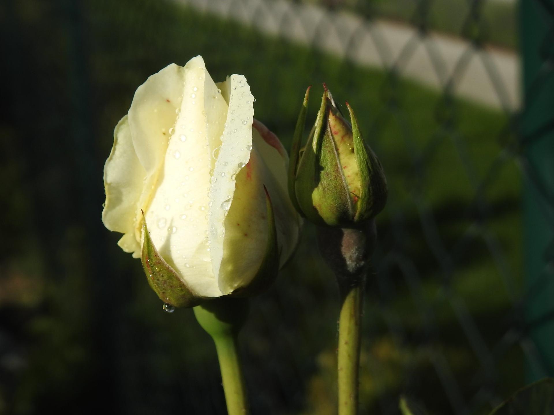 Júnové ruže, v tomto období sú najkrajšie. - Obrázok č. 22
