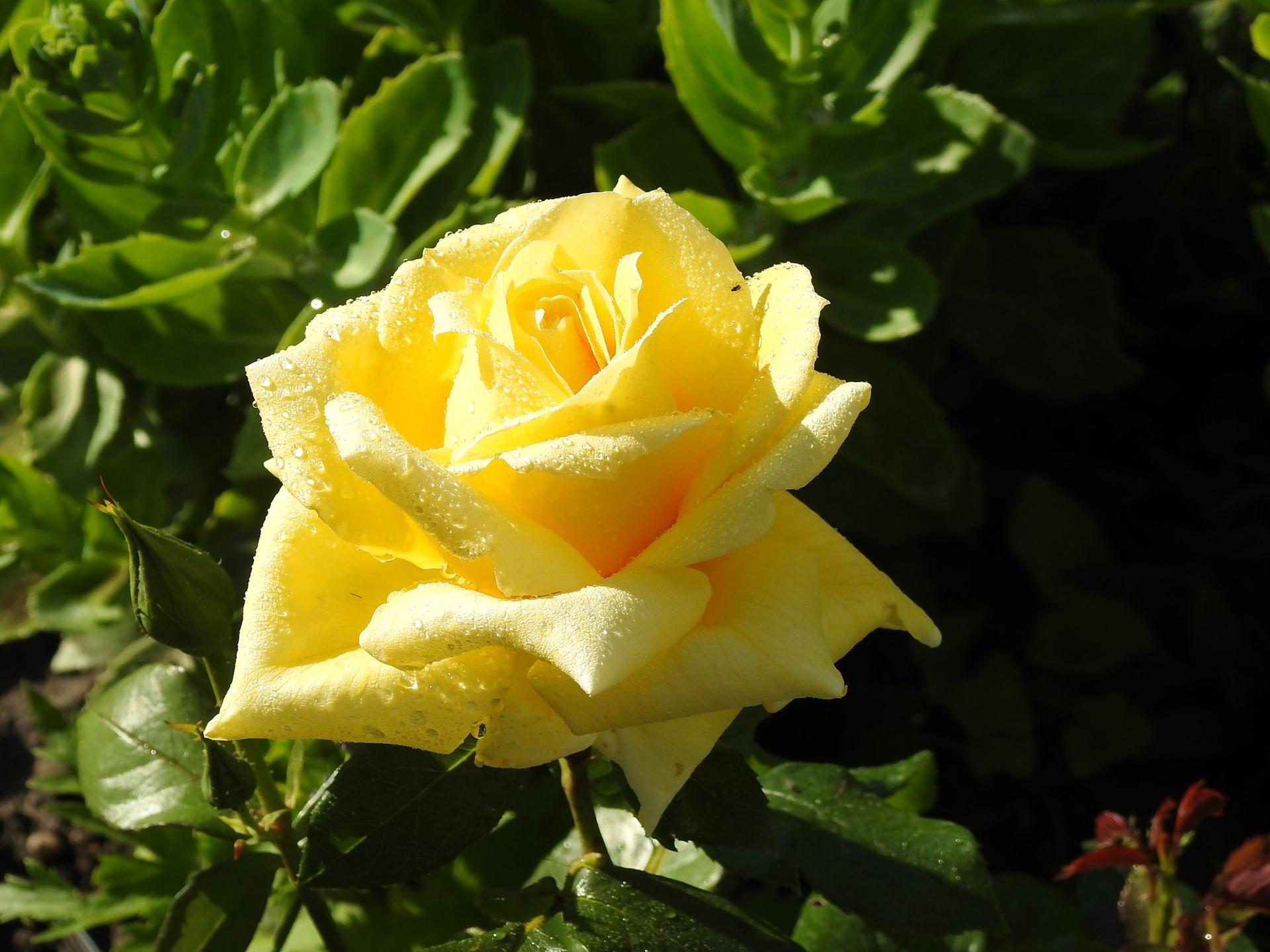 Júnové ruže, v tomto období sú najkrajšie. - Obrázok č. 24