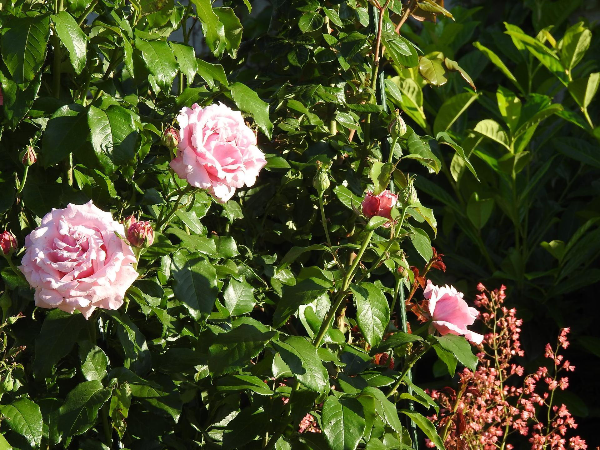 Júnové ruže, v tomto období sú najkrajšie. - Obrázok č. 25