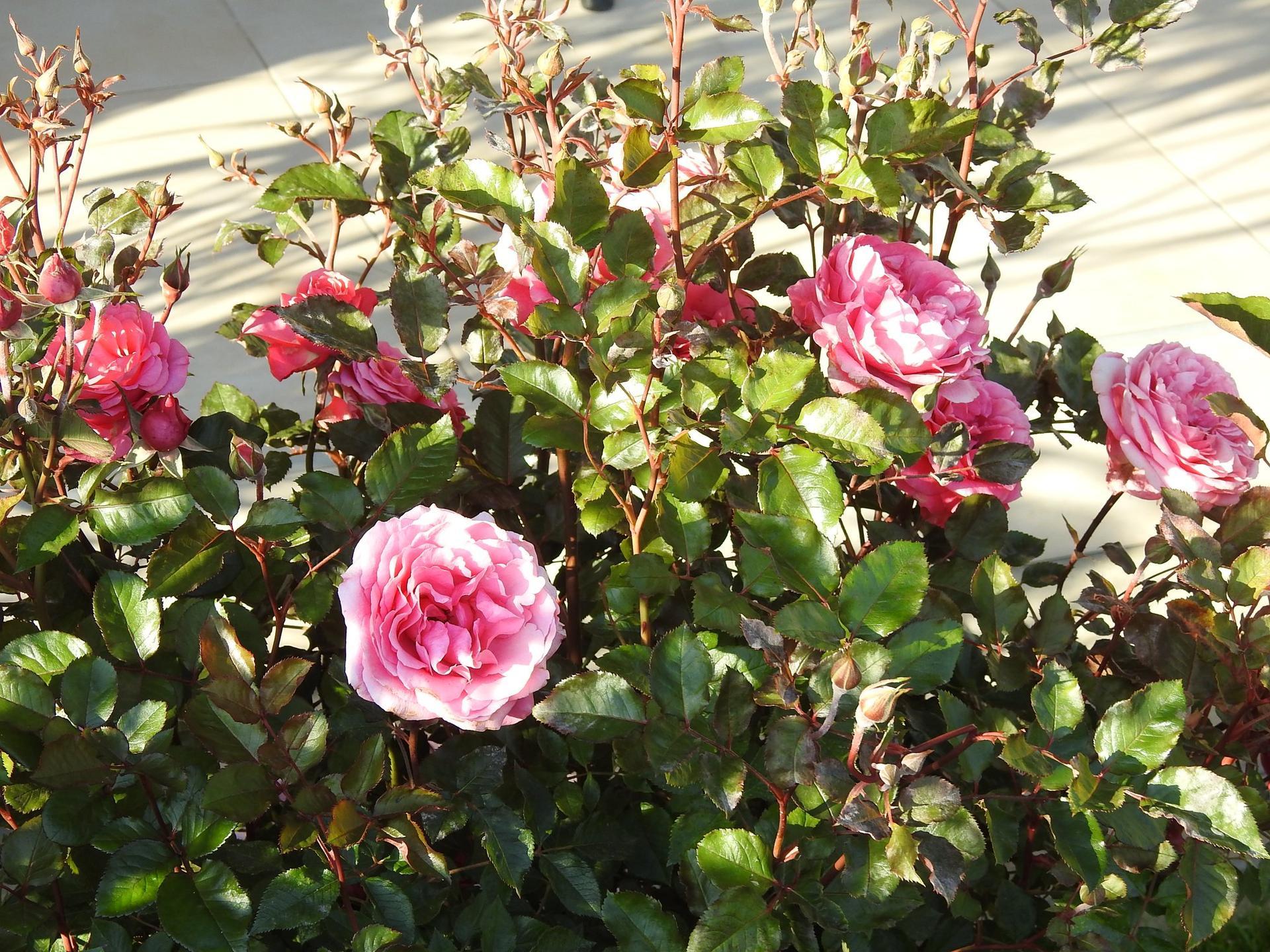 Júnové ruže, v tomto období sú najkrajšie. - Obrázok č. 26