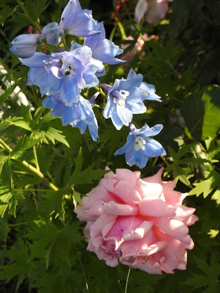 Júnové ruže, v tomto období sú najkrajšie. - Obrázok č. 27