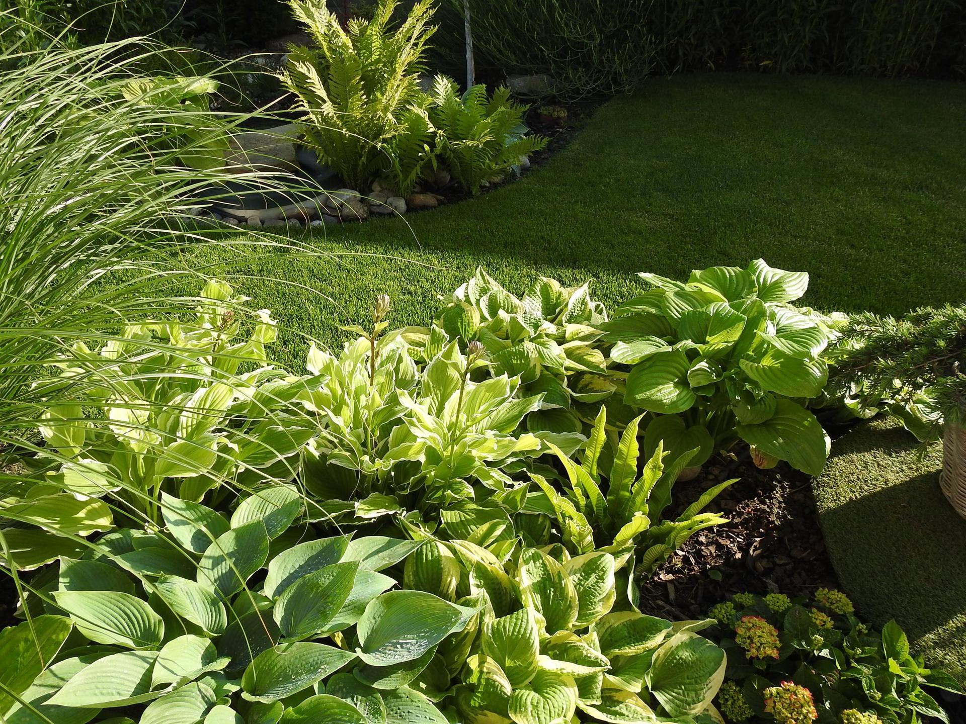 Hosta (Funkia) v záhrade, osvieži a okrášli každý tienistý kút - Obrázok č. 3