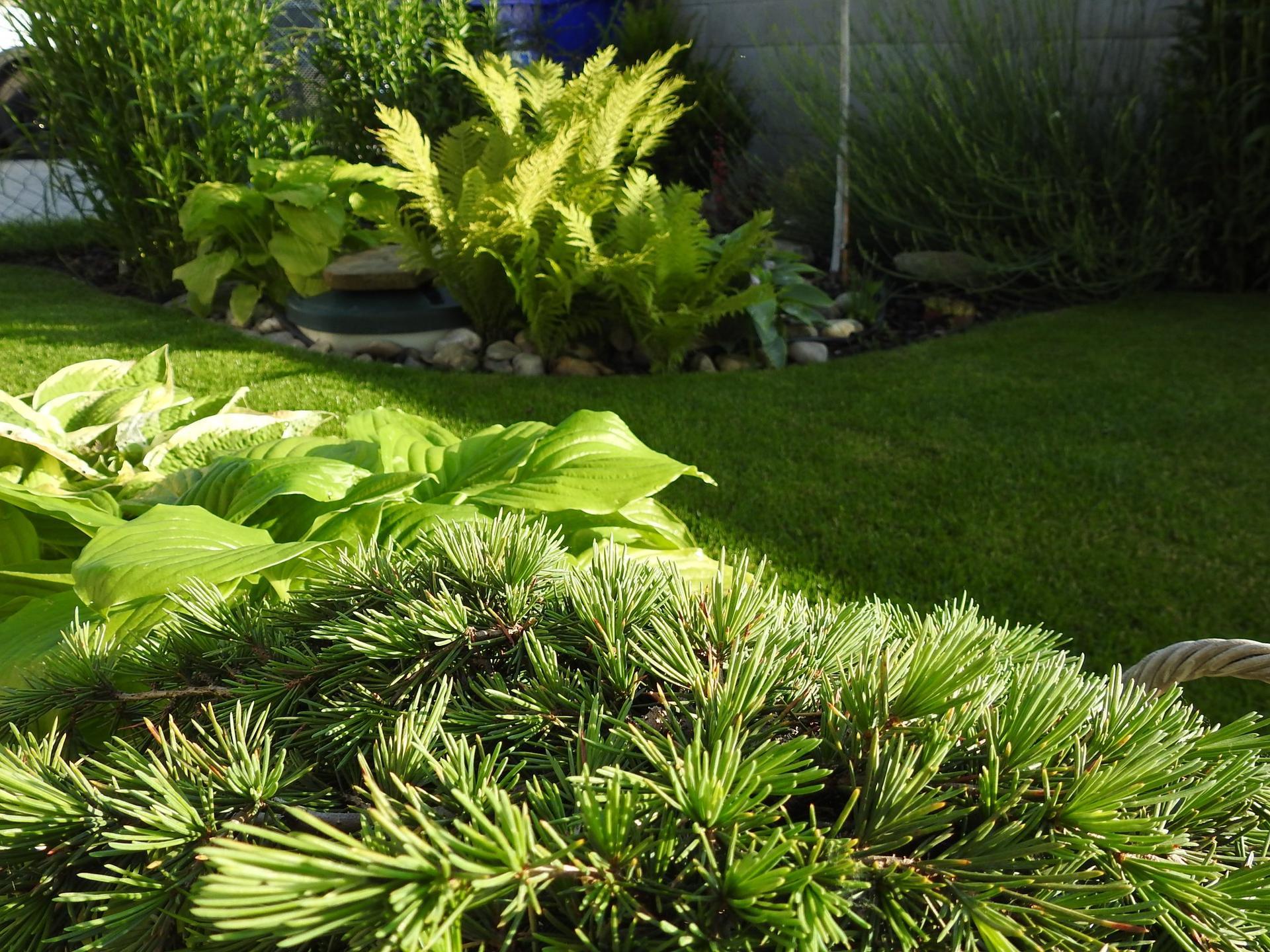 Hosta (Funkia) v záhrade, osvieži a okrášli každý tienistý kút - Obrázok č. 4