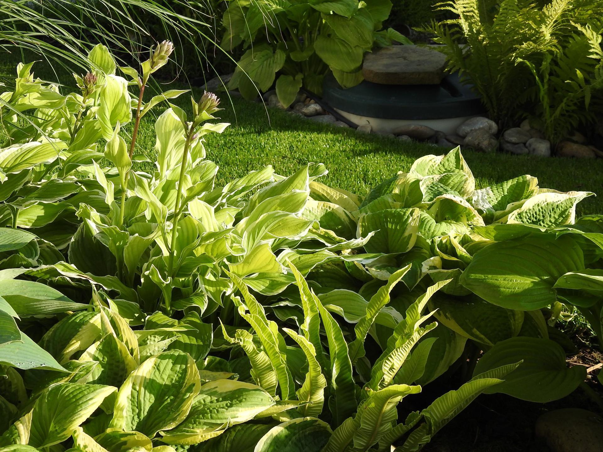 Hosta (Funkia) v záhrade, osvieži a okrášli každý tienistý kút - Obrázok č. 8