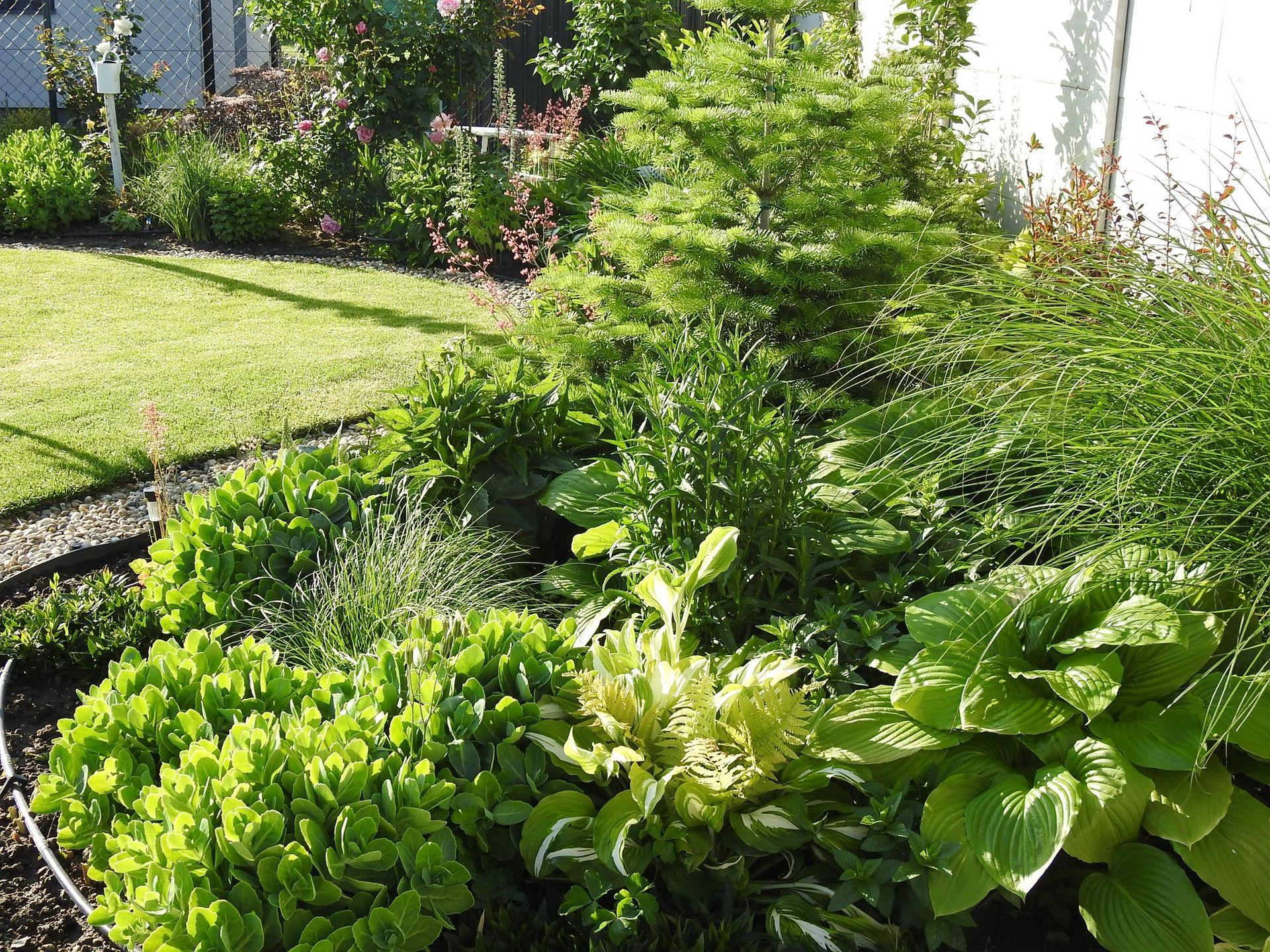Hosta (Funkia) v záhrade, osvieži a okrášli každý tienistý kút - Obrázok č. 12