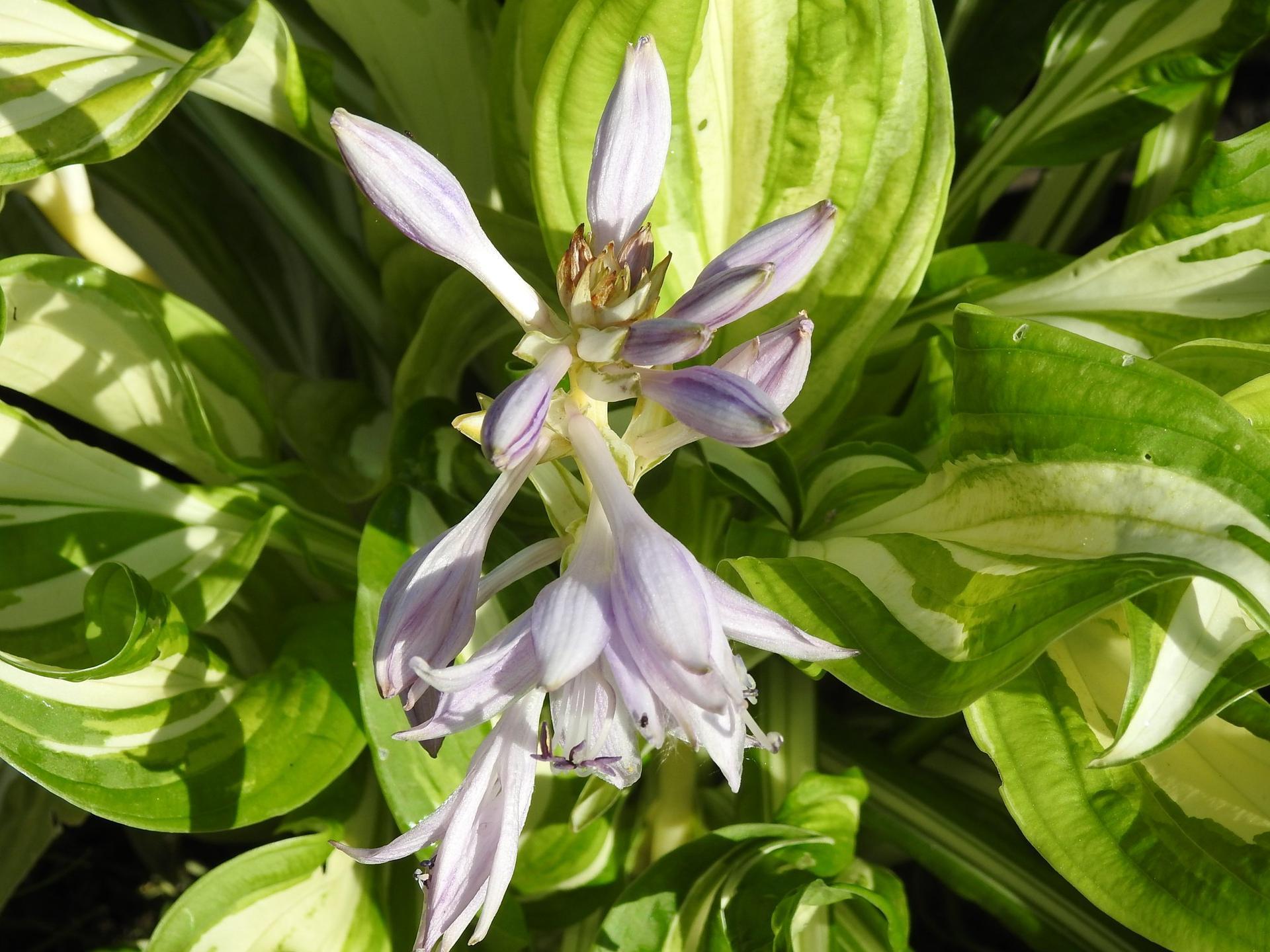 Hosta (Funkia) v záhrade, osvieži a okrášli každý tienistý kút - Obrázok č. 13