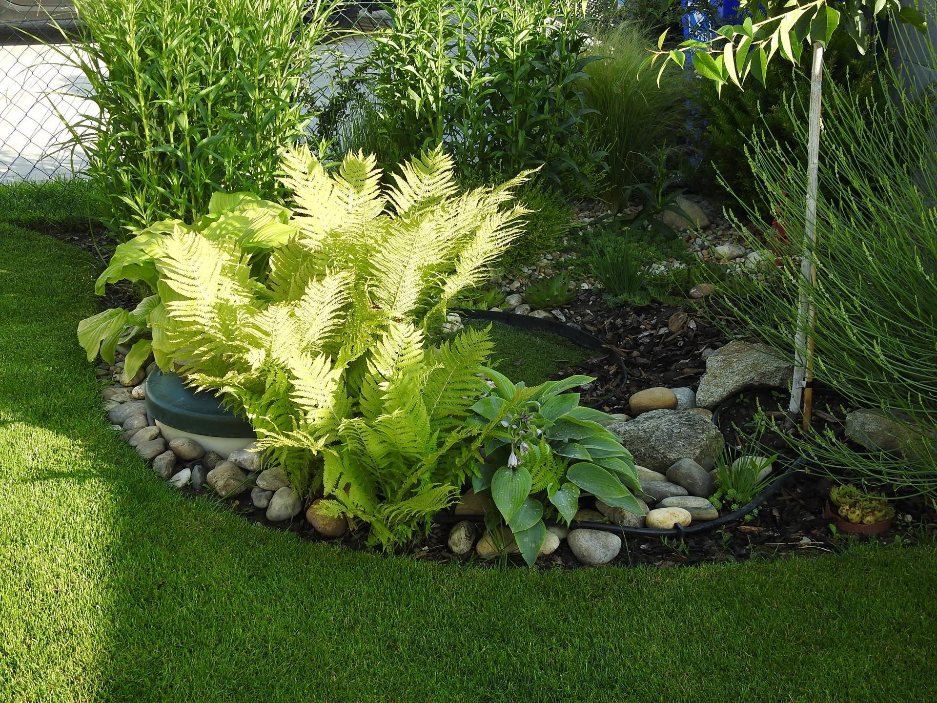 Hosta (Funkia) v záhrade, osvieži a okrášli každý tienistý kút - Obrázok č. 15