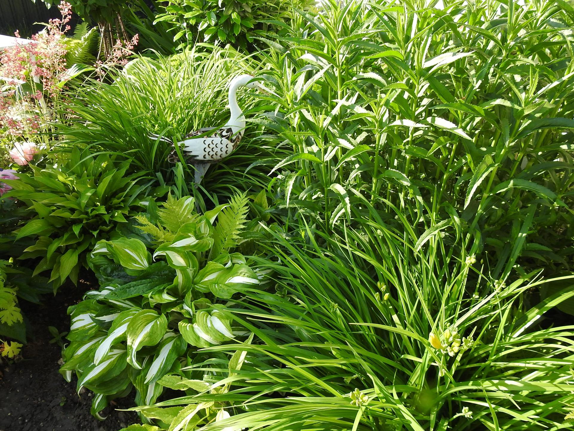Hosta (Funkia) v záhrade, osvieži a okrášli každý tienistý kút - Obrázok č. 16