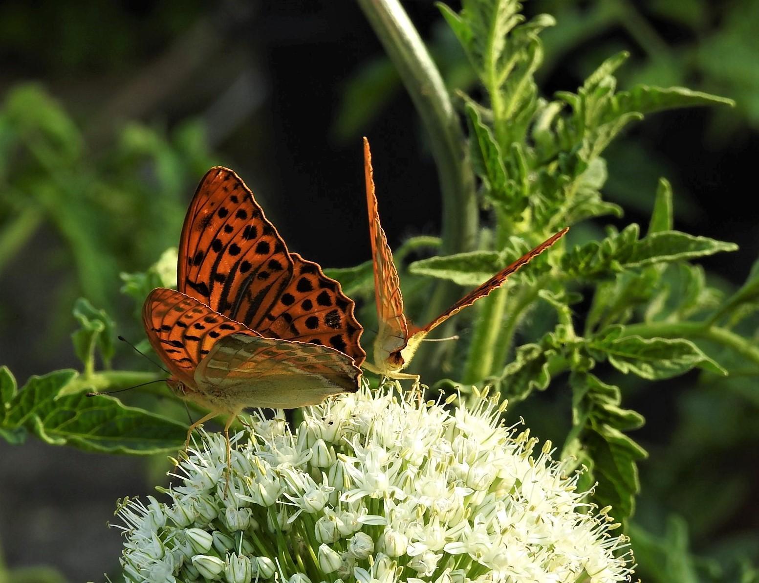 Roztancované motýle