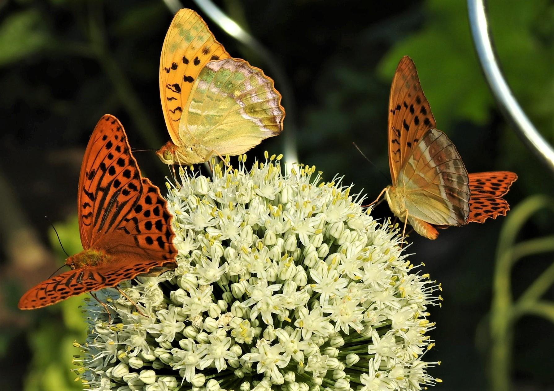 Roztancované motýle - Obrázok č. 2