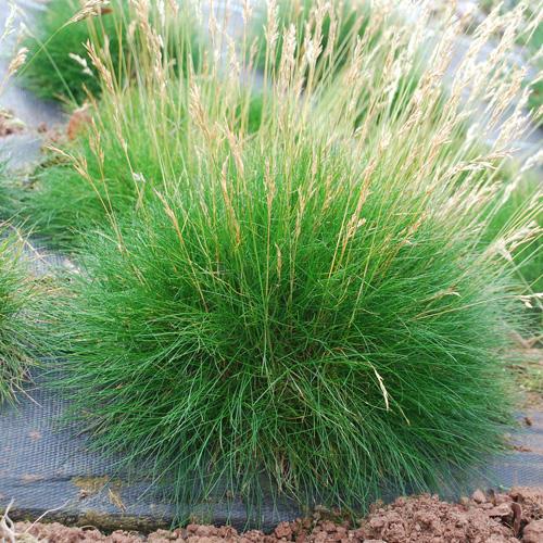 Vybrate do mojej buducej bielo zelenej zahrady - kostrava zelená