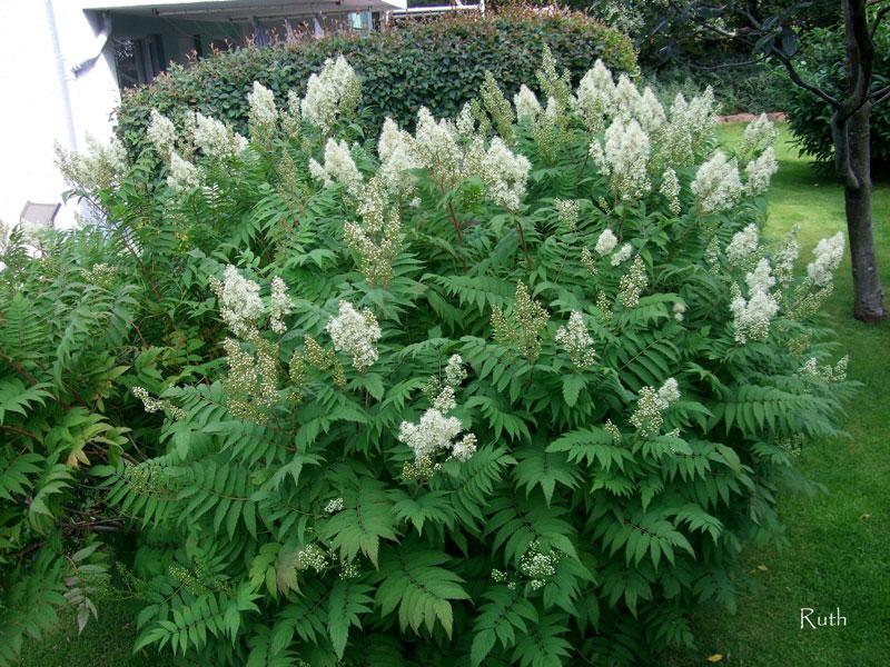Vybrate do mojej buducej bielo zelenej zahrady - biele astilbe