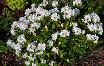 biely rododendron