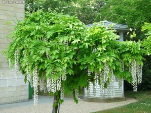 wisteria biela na kmienku