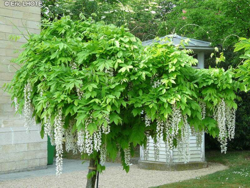 Vybrate do mojej buducej bielo zelenej zahrady - wisteria biela na kmienku