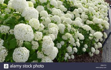 hydrangea macrophylla white