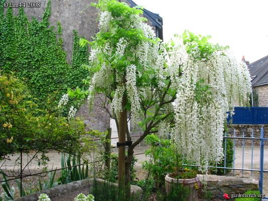 Vybrate do mojej buducej bielo zelenej zahrady - wisteria na kmienku