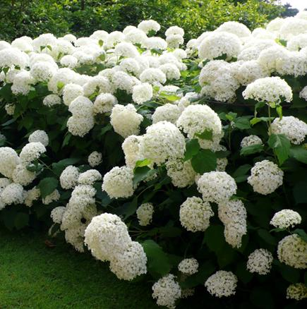 Vybrate do mojej buducej bielo zelenej zahrady - hortenzia anabell