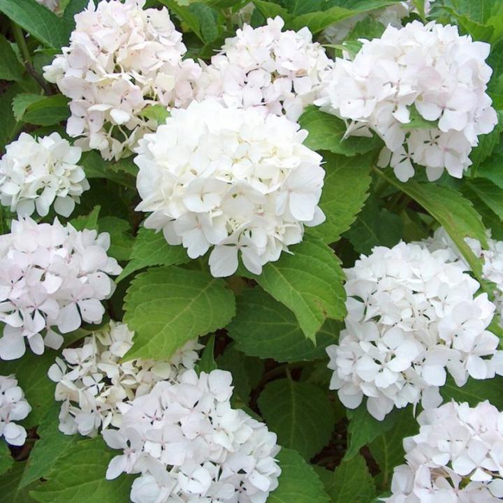 Vybrate do mojej buducej bielo zelenej zahrady - hortenzia kalinolista