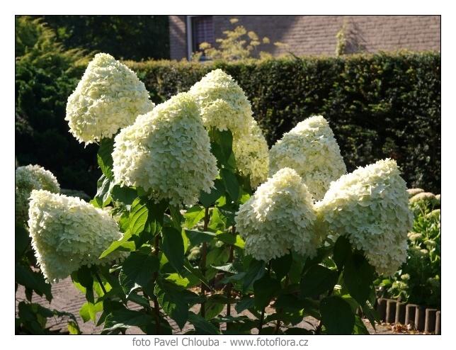 Vybrate do mojej buducej bielo zelenej zahrady - hortenzia limelight
