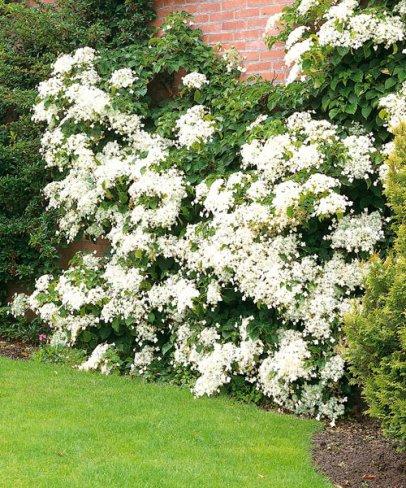 Vybrate do mojej buducej bielo zelenej zahrady - popinava hortenzia