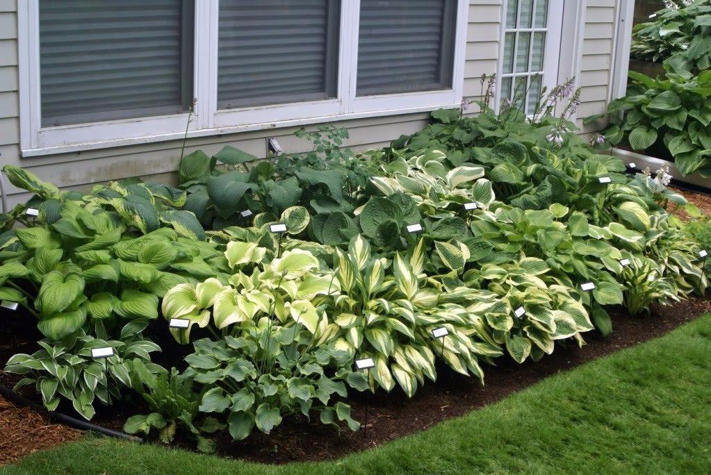 Vybrate do mojej buducej bielo zelenej zahrady - hosty