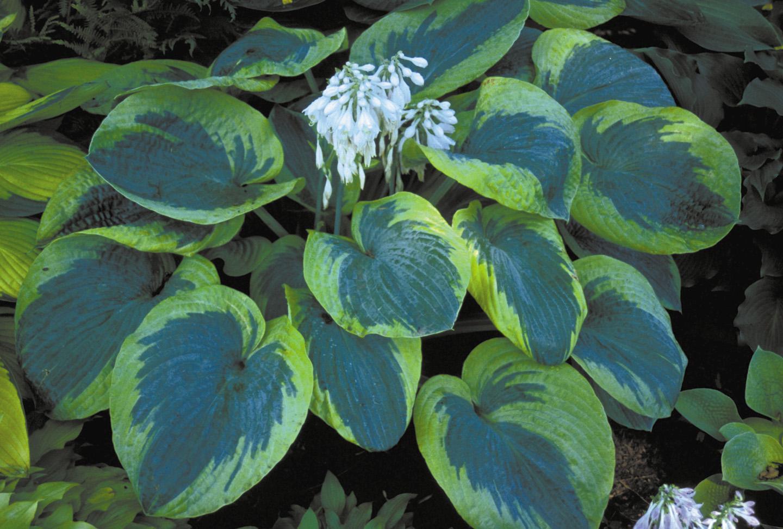 Vybrate do mojej buducej bielo zelenej zahrady - hosta