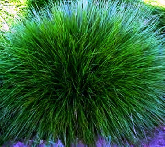 Vybrate do mojej buducej bielo zelenej zahrady - kostrava medvedia