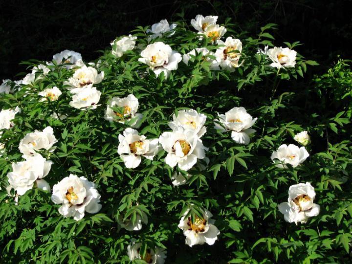 Vybrate do mojej buducej bielo zelenej zahrady - pivonka drevita