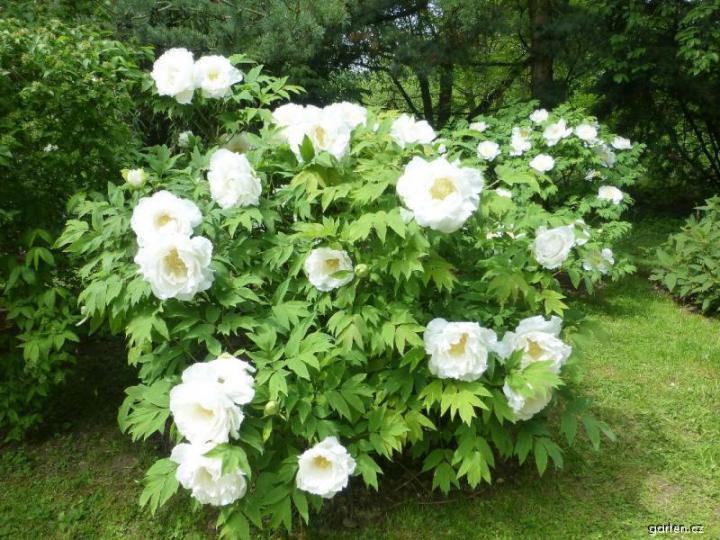 Vybrate do mojej buducej bielo zelenej zahrady - pivonia drevita