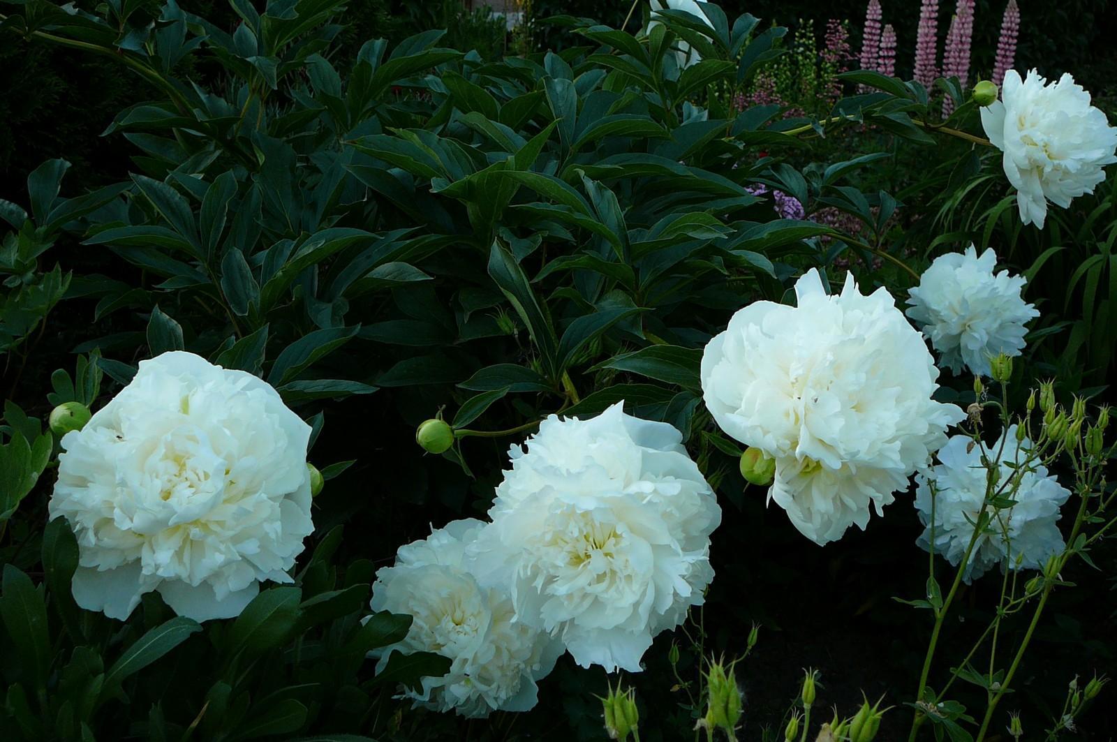 Vybrate do mojej buducej bielo zelenej zahrady - biela pivonka