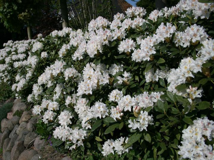 Vybrate do mojej buducej bielo zelenej zahrady - rododendron