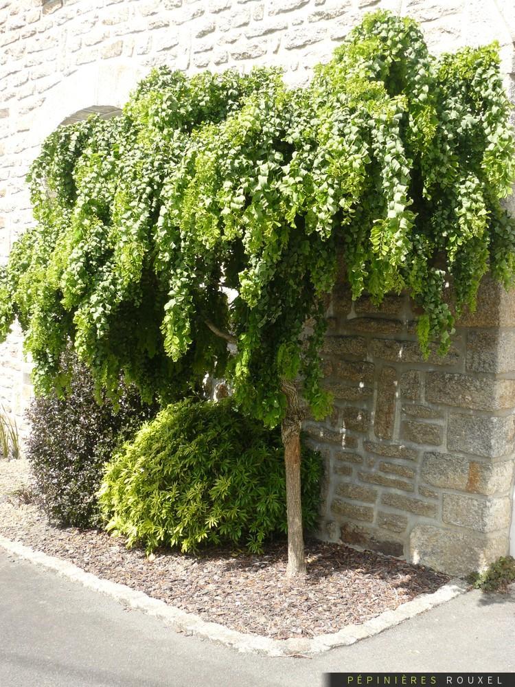 Vybrate do mojej buducej bielo zelenej zahrady - robinia twisty baby - pokruteny agat