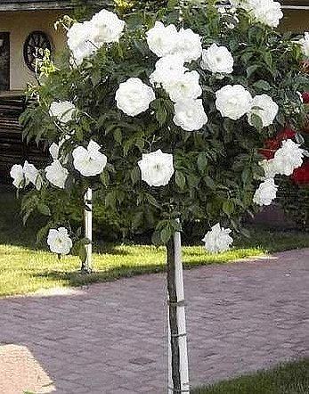Vybrate do mojej buducej bielo zelenej zahrady - ruza na kmienku