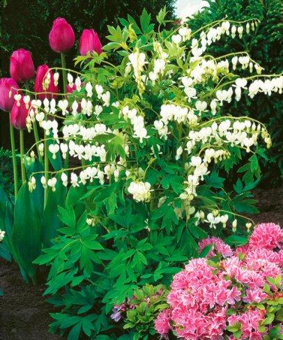 Vybrate do mojej buducej bielo zelenej zahrady - srdcovka biela