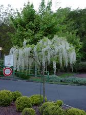 biela wisteria na kmienku