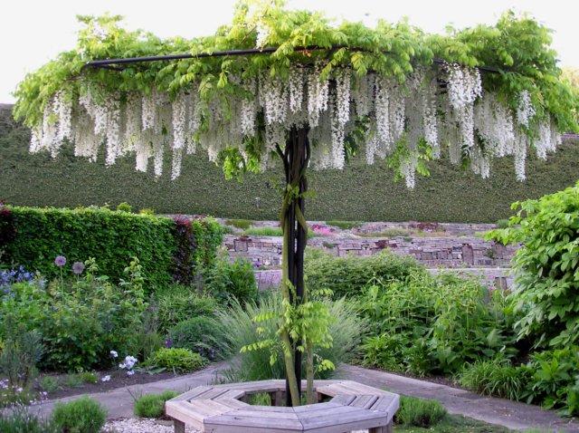 Vybrate do mojej buducej bielo zelenej zahrady - biela wisteria na kmienku