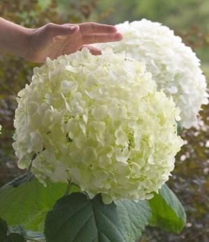 Vybrate do mojej buducej bielo zelenej zahrady - hortenzia strong anabelle