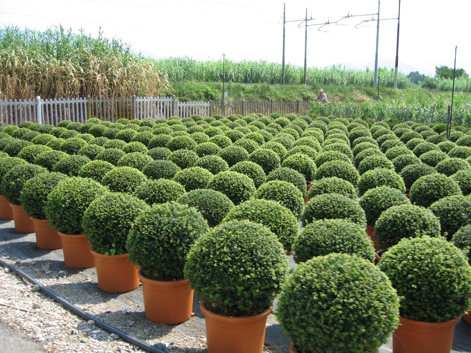 Vybrate do mojej buducej bielo zelenej zahrady - buxus