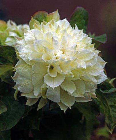 Vybrate do mojej buducej bielo zelenej zahrady - plamienok duchesse of edinburgh