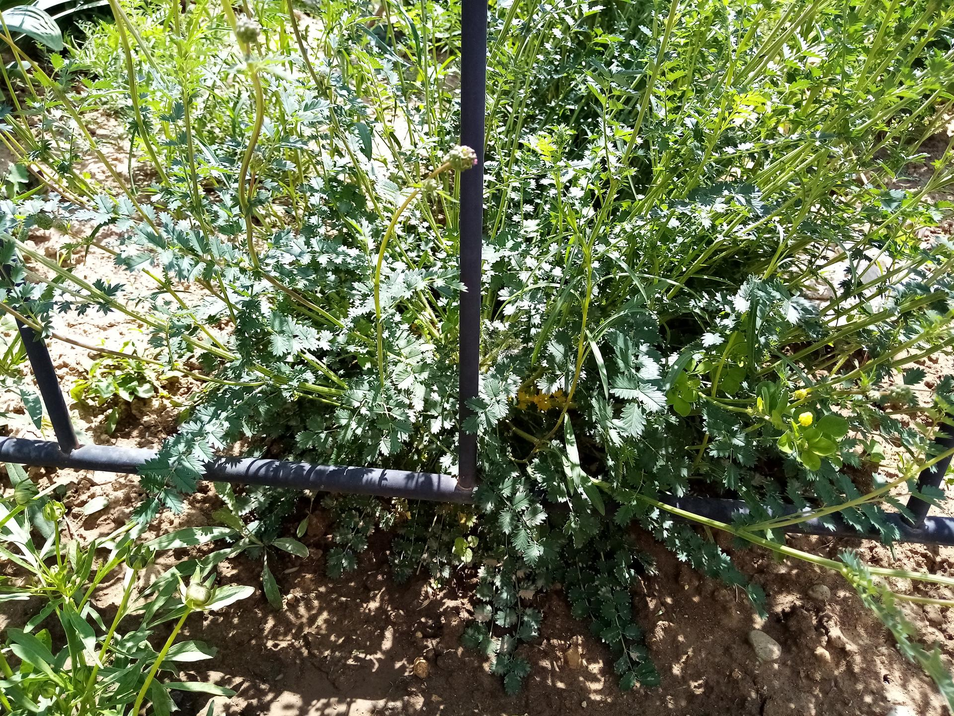 Prosim, co je toto za rastlina???...burina nejaka???...vyrastlo mi to v skalke :) - Obrázok č. 1
