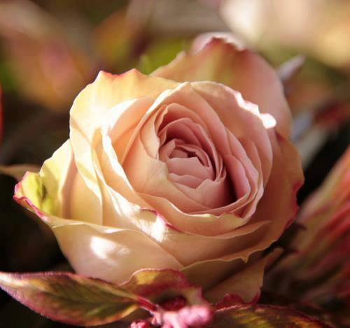 """Ruže v hlavnej úlohe @ } - , - """" - - Obrázok č. 5"""